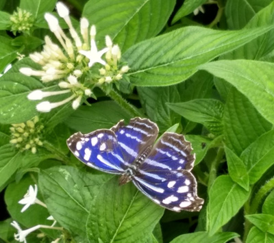 blue butterfly at Como